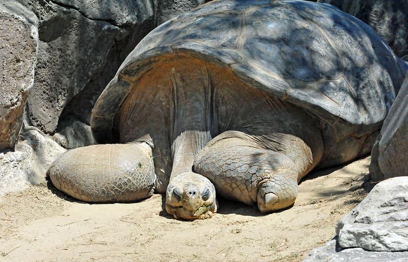 tortuga gigante  de Galápago