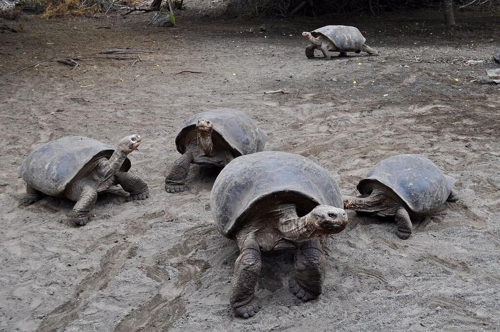 Tortuga gigante de Aldabra.