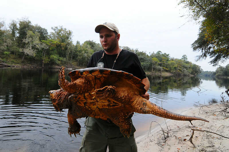 tortuga caimán más grande del mundo