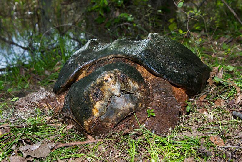 Origen de la tortuga caimán´na