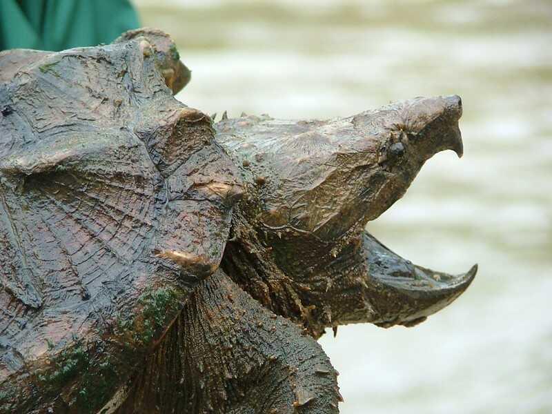 Alimentación de la tortuga caimán