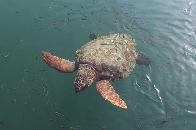 Características de la tortuga Caretta Caretta