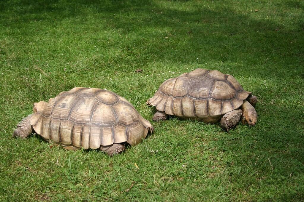 Centrochelys sulcata entre las Las 10 tortugas más grandes del mundo