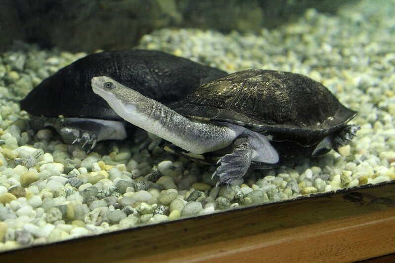 Características más comunes de la tortuga de cuello largo
