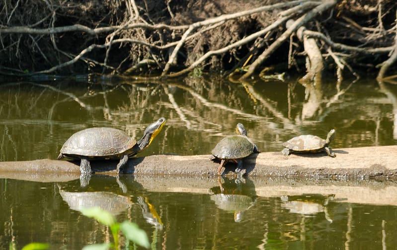 Cuidados de la tortuga Blanding como mascota