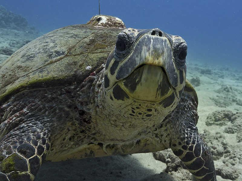 Características más comunes de la tortuga Carey