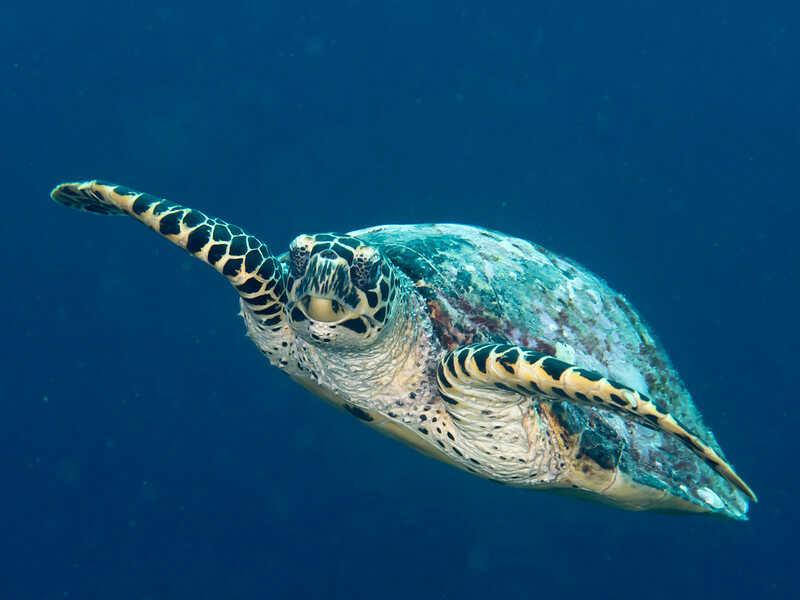 Descripción de la tortuga Carey