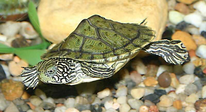 tortuga falsa mapa longevidad y reproducción