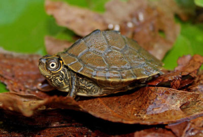 Falsa tortuga Mapa características y curiosidades