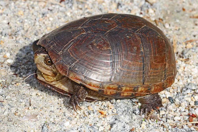 ué amenaza a las Tortugas de Pantano
