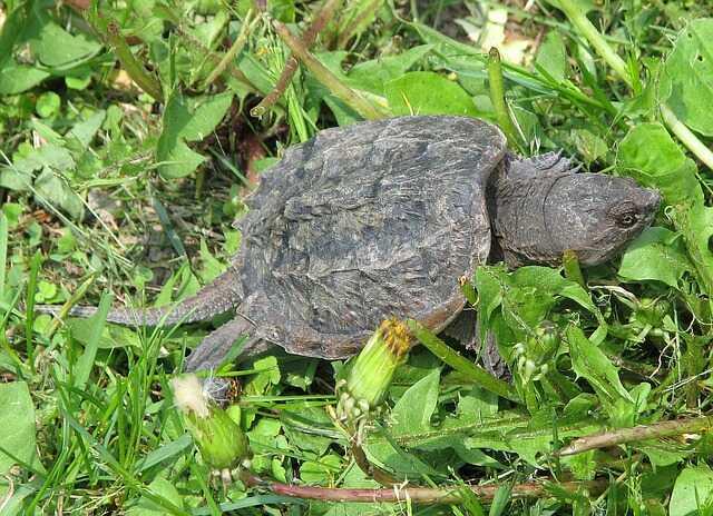 tortuga mordedora bebe