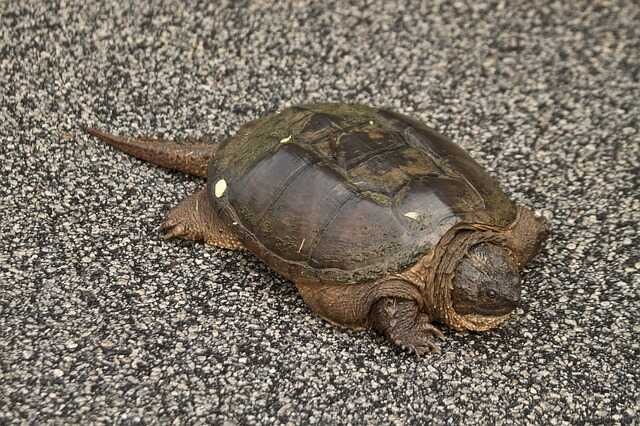 Comportamiento  tortuga toro