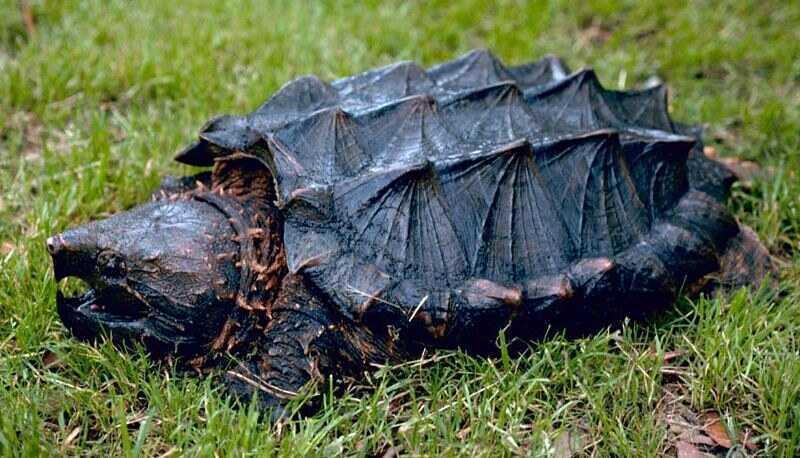 Curiosidades de la tortuga caimán