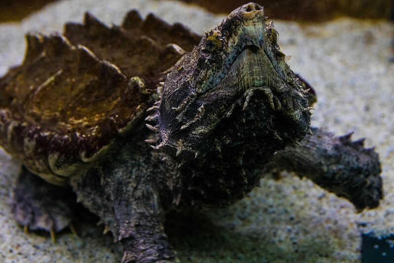 Cuáles enfermedades puede contraer la tortuga caimán