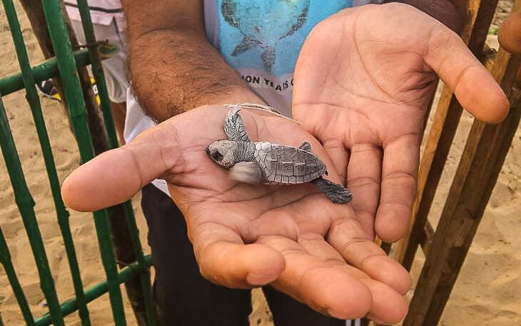 ¿Qué amenaza la tortuga golfina?