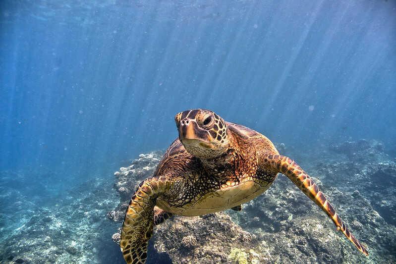 Características más comunes de la tortuga Verde