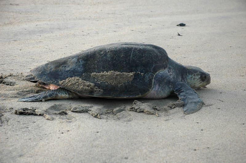 Características más comunes de la tortuga golfina