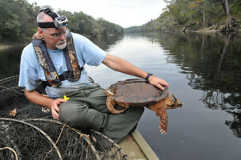 amenaza a la tortuga caimán (peligro de extinción