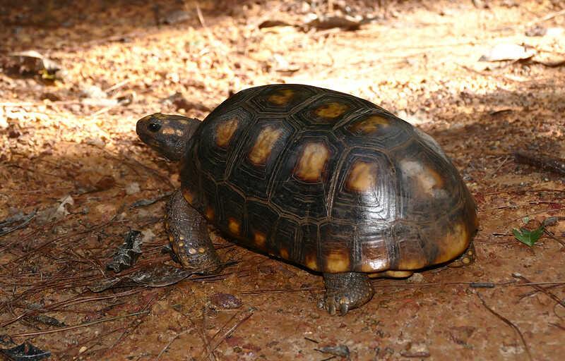 como reconocer tortuga morrocoy e identificar