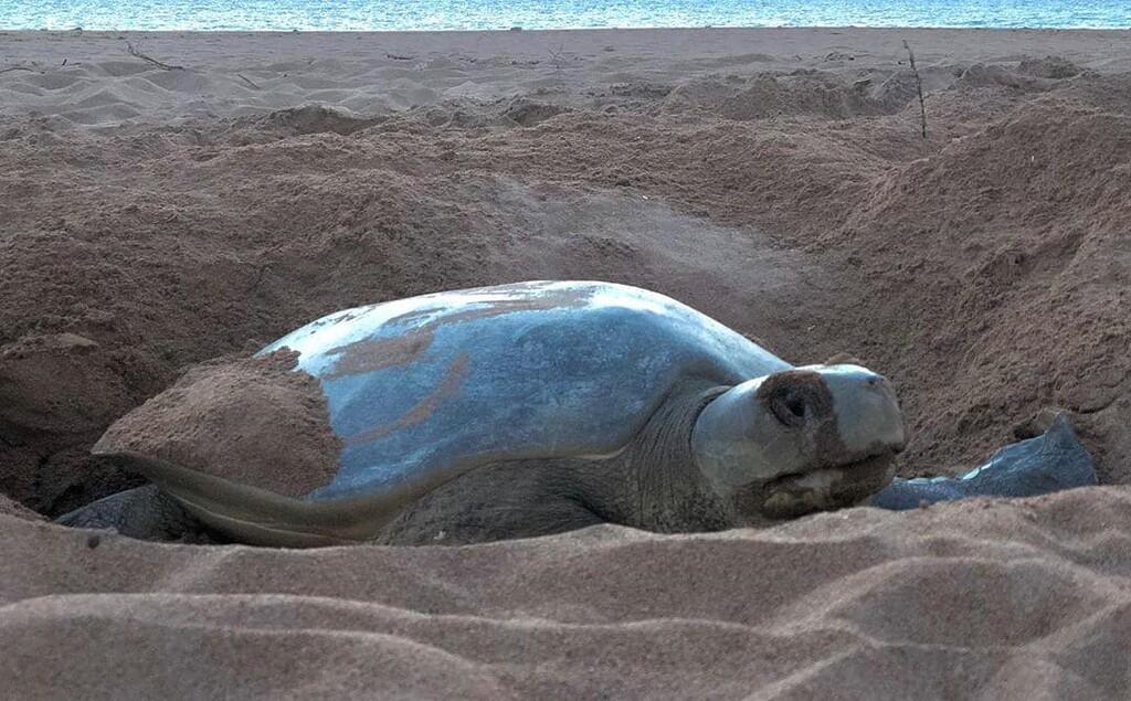 tortuga plana estructura corporal