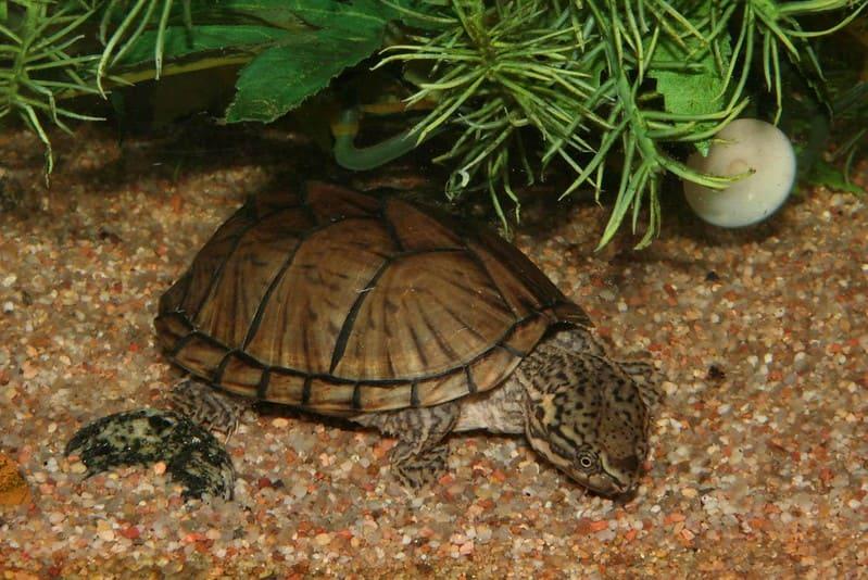 Características más comunes de la tortuga bulbo
