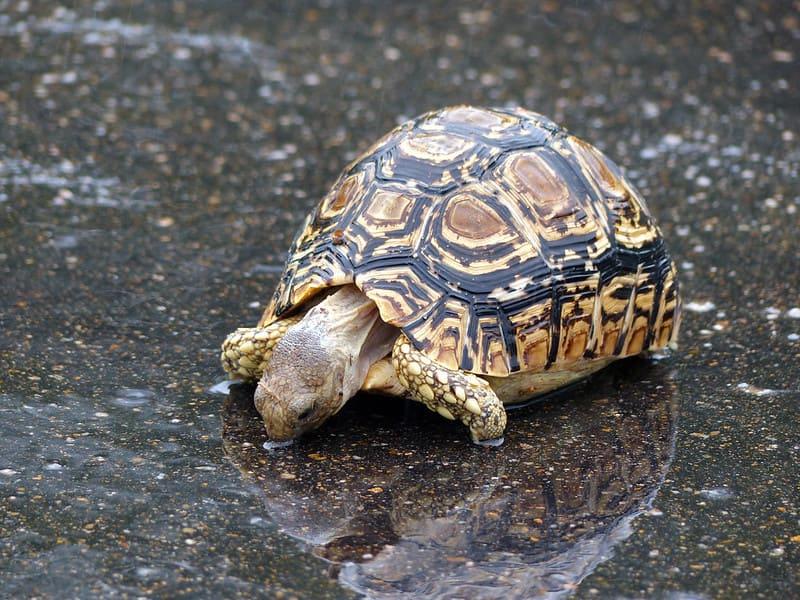 Cría de tortuga de Leopardo