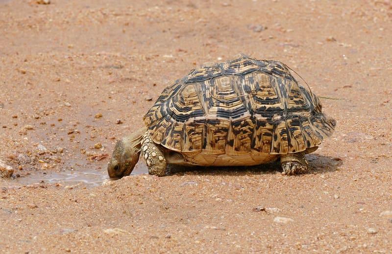 De dónde es originaria la tortuga Leopardo