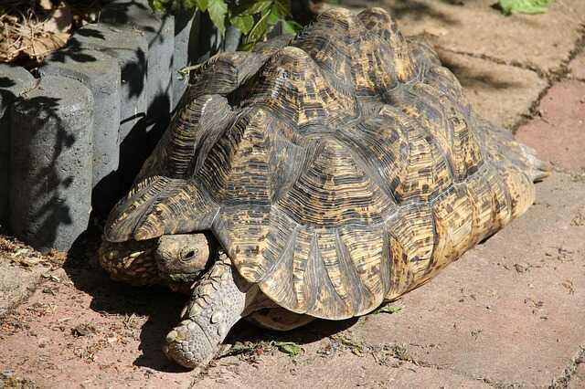 cuales son las tortugas de tierra