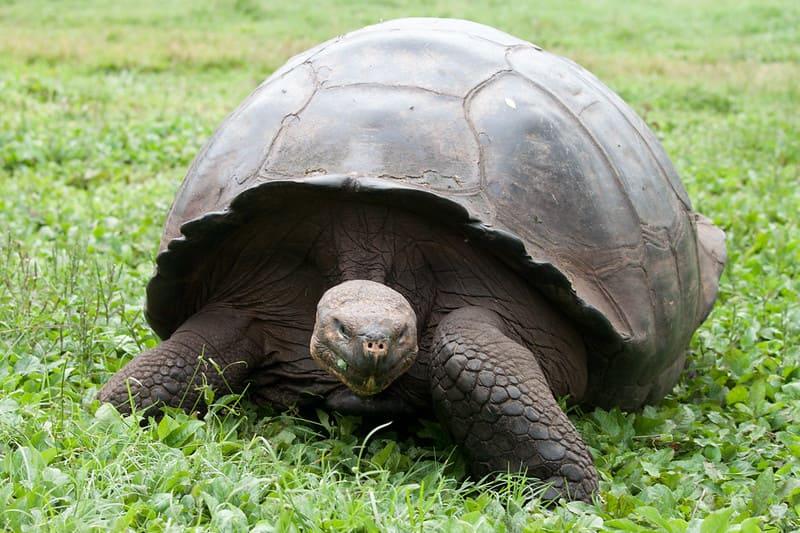 Las tortugas gigantes de Galápagos