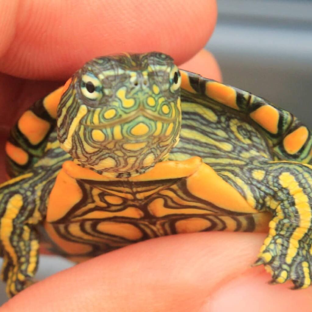 La Hicotea, jicotea o tortuga de orejas naranjas (Trachemys callirostris)