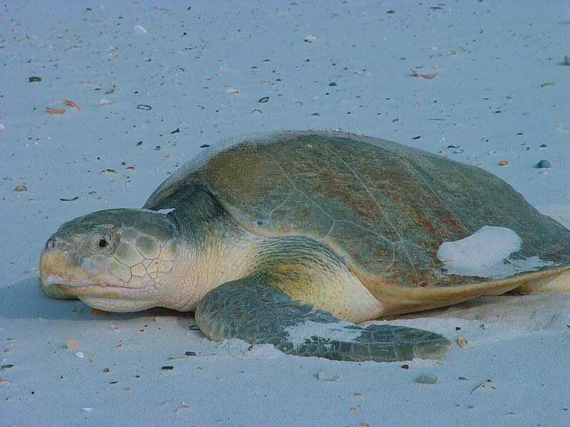 características de tortuga lora