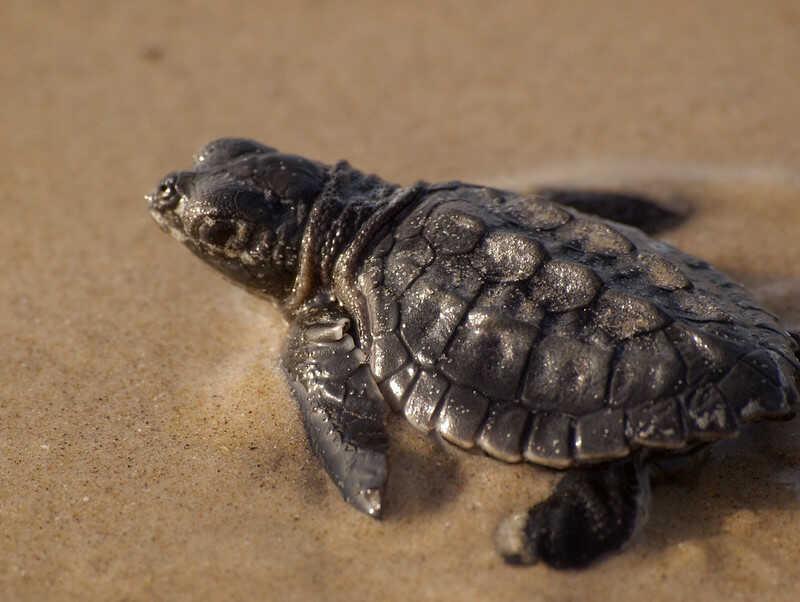 Crías de tortugas Lora