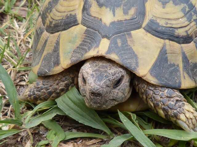 Cuántos años vive la tortuga mediterranea europea