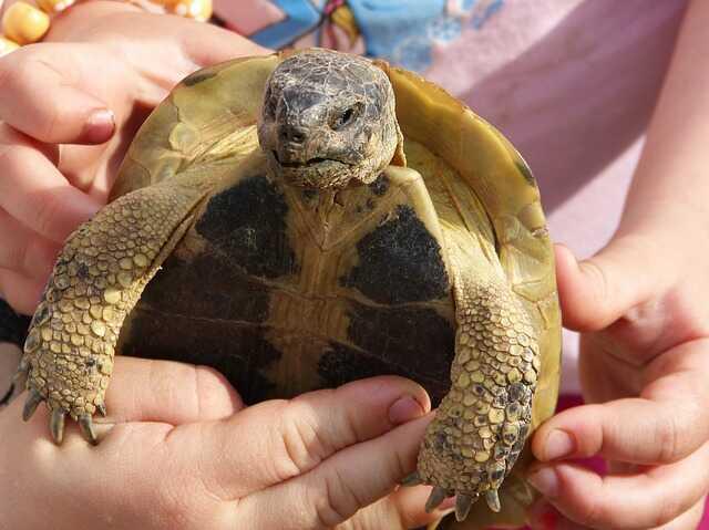 Distinguir al macho de la hembra tortuga mediterránea europea