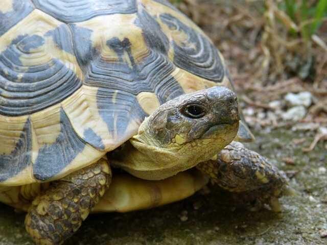 Cría bebe de tortuga mediterránea europea