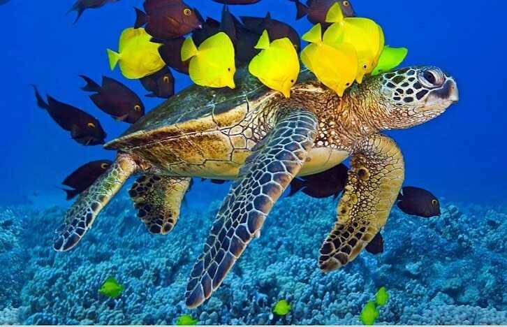 Tortuga Golfina de Mar