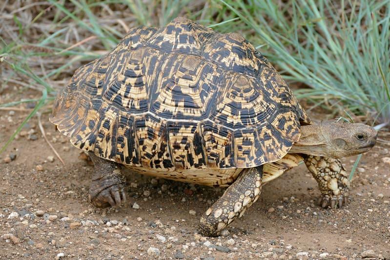 Tortugas Leopardo quedan en el mundo