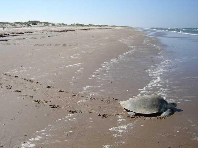 Cuántas tortuga Lora quedan en el mundo