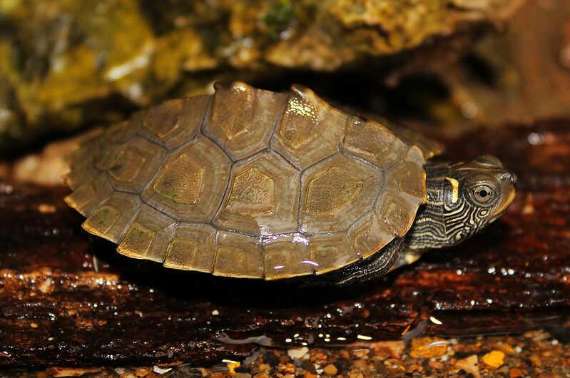 Falsa tortuga Mapa adulta