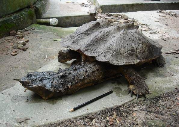 Características de la tortuga matamata