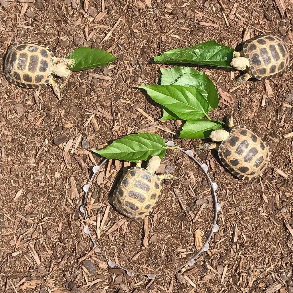 cuidar las crías tortuga del Bolsón o Tortuga Mexicana