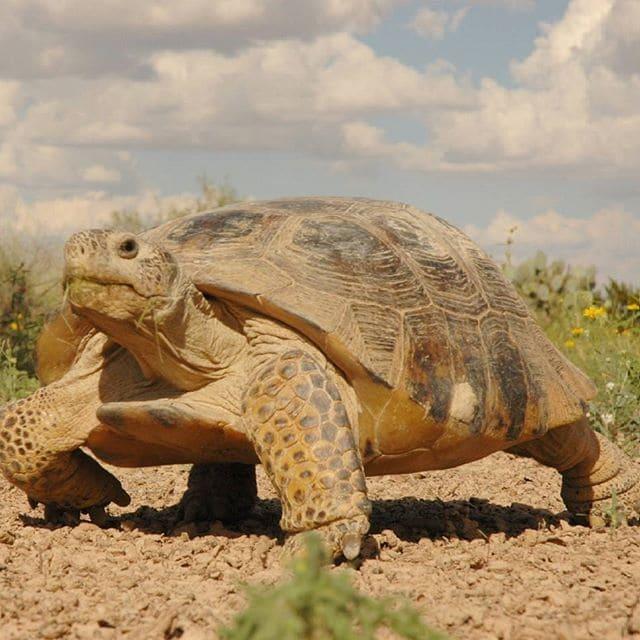 tortuga de Mapimí