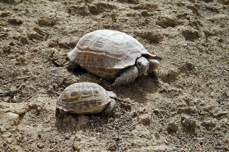Comportamiento de la tortuga Mora