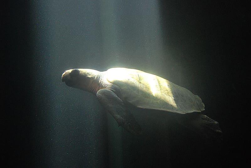 Tortuga Olivácea