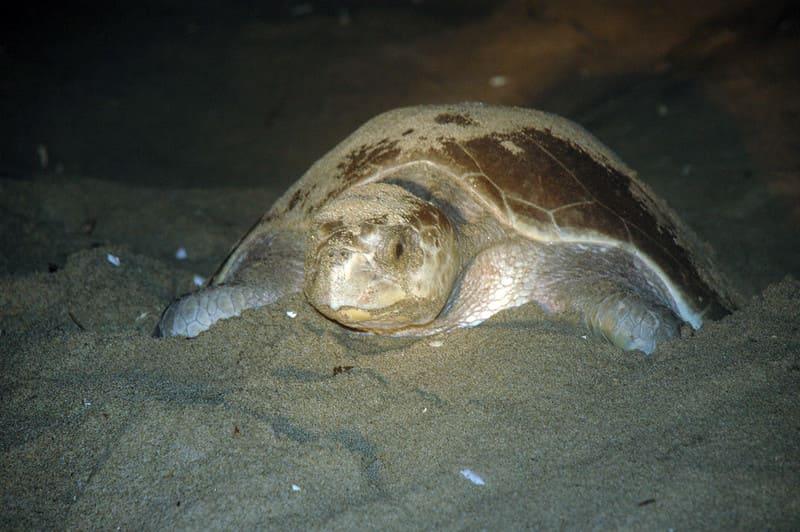 de que se alimenta la tortuga  Olivácea