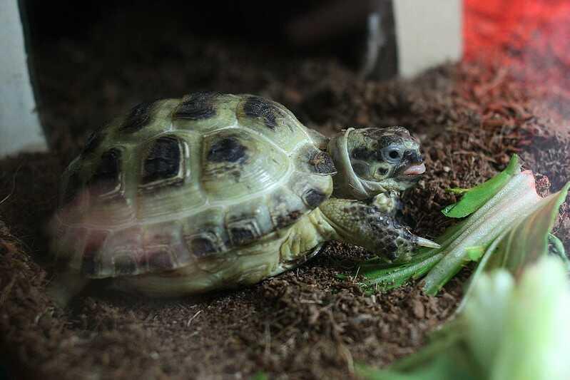 De dónde viene  la tortuga  Tortuga de estepa