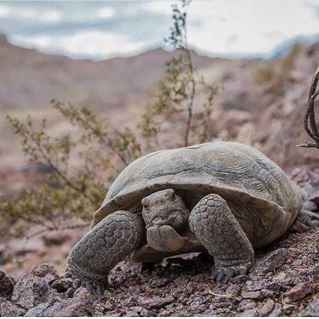 tortuga del desierto de mapimí en durango