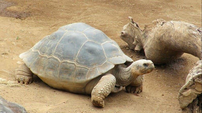 Características de la tortuga de Galápago