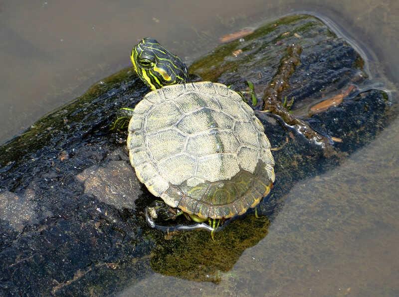 Cría pequeña de tortuga de orejas amarillas