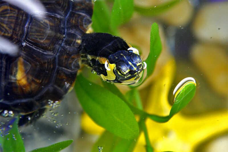 mi tortuga de orejas amarillas no come consejos para que coma